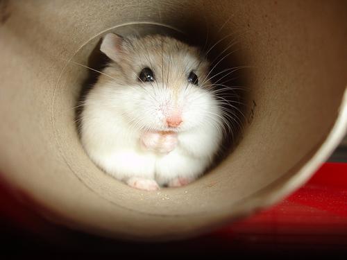 1. ascunzătoare hamster - sursa cdrussorusso