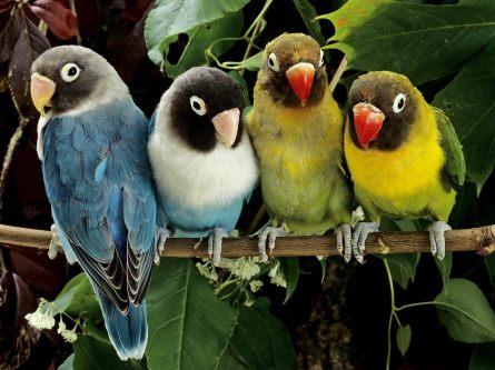 papagali-agapornis